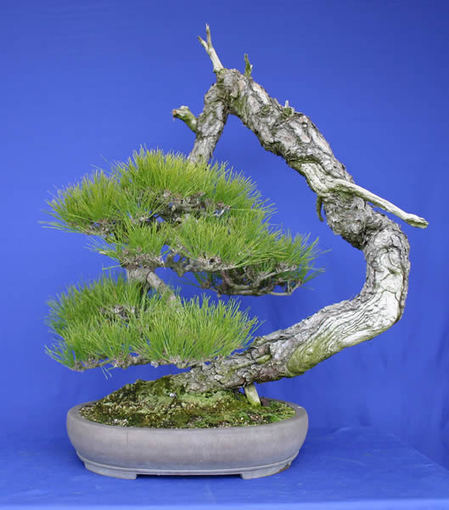 Japanese red pine from an island of Seto Inland Sea