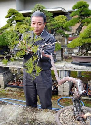 Kiyoshi Hiramatsu is taking care of his Akamatsu in Seijuen bonsai garden in Takamatsu's Kokubnji town.