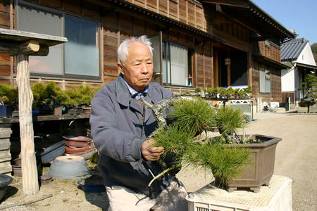 Isao Sasaki, taking care of Akamatsu, Aishoen bonsai garden in Takamatsu's Kokjubunji town