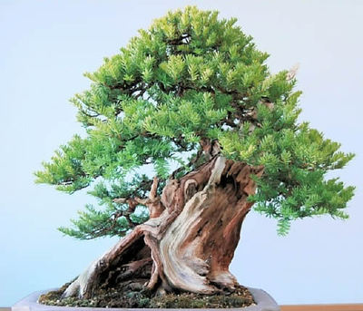 Old Ichii (Japanese yew) which Yamaji takes care in his bonsai garden