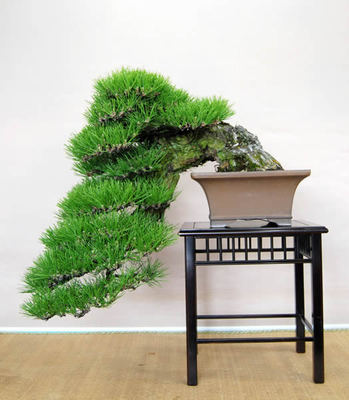 Kengai grown in strong wind and snow for 100 years at Haruchan bonsai in Takamatsu's Kokubunji town