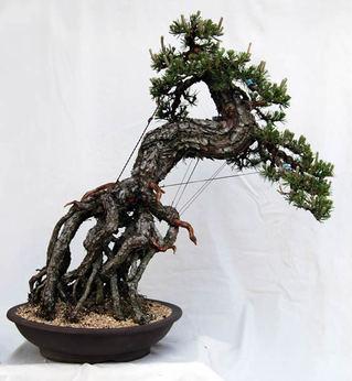 Kuromatsu (Japanese black pine) whose roots come out about 50 centimeters at Zuishoen bonsai garden in Takamatsu's Kokubunji town