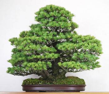 Kabudachi of Goyomatsu having magnificent atmosphere at Konishi Shorakuen bonsai garden in Takamatsu's Kinashi town