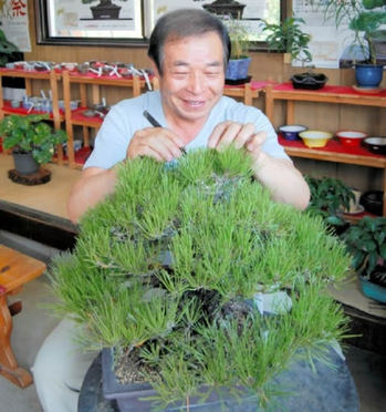 Hiramatsu, picking out the old needles of Kuromatsu (Japanese black pine)