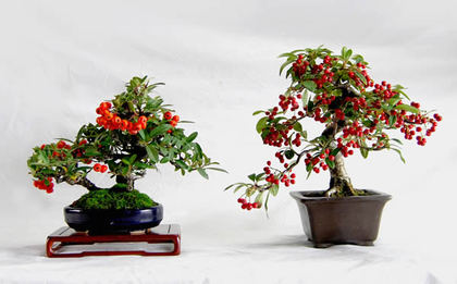 Pyracantha (left) and Cotoneaster