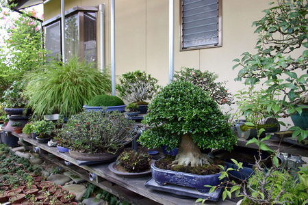 Many Zoki bonsai at his shelves