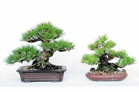 Shohin of Kuromatsu grown by Toriki