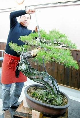 Nakanishi doing the big adaptation by Jack at Nakanishi Chinshoen bonsai garden in Takamatsu's Kinashi town