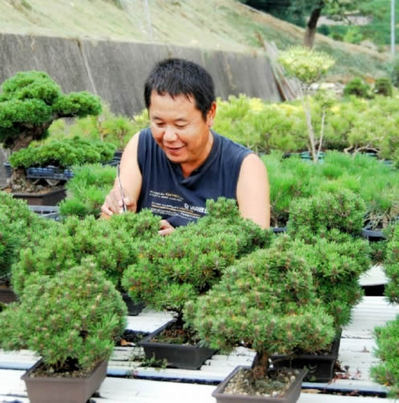Tadashi Ayada taking away the old needles of Kuromatsu Kotobuki Yatsufusa in pots at Ryoshoen bonsai garden in Takamatsu's Kokubunji town Fast Complete Tree Shape