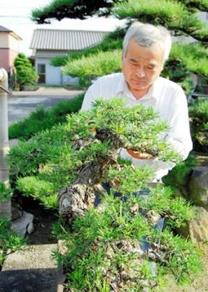 Kandaka taking care of Misho Kuromatsu (Japanese black pine ) at Kandaka Shojuen bonsai garden in Takamatsu's Kinashi town