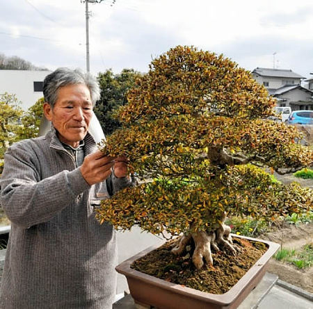 "Ota taking care of ""Nikko"" which won the prize in Taikan-ten bonsai exhibition in Takamatsu's Aji town"