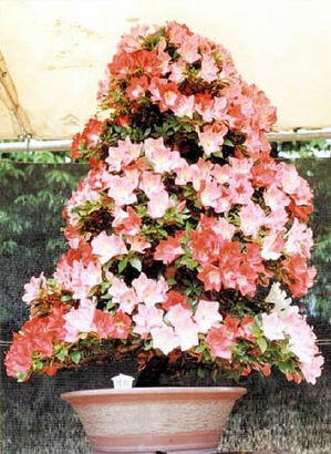 """""""Koyo"""" in full bloom"""