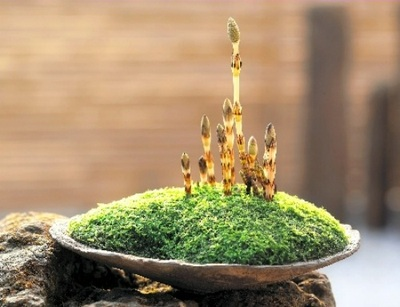 Potted Tsukushi, a symbol of the beginning of spring
