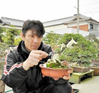 Hiramatsu cleaning the Shari of a Chinese juniper at Hiramatsu Shunshoen bonsai garden in Takamatsu's Kokubunji town