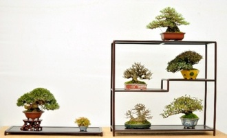 7 trees' display accepted in the Sakufu Bonsai Exhibition (Owned by Mr. Minoru Yamada in Kagawa's Sanuki city)