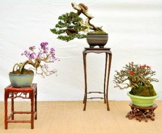 Shohin of Murasaki Shikibu, Shinpaku (Chinese juniper), and Chojubai (from left)