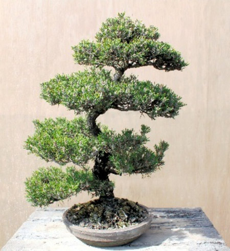 Parent Tree of Senjuhime