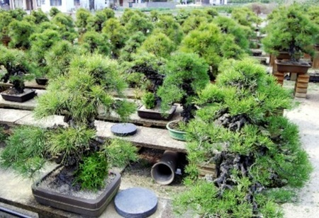 There are many old trees of Nishikimatsu in Senshoen bonsai garden.