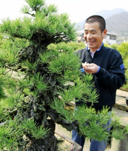 Hashimoto is taking care of Nishikimatsu Suehiro at Senshoen bonsai garden in Takamatsu's Kokubunji town which his father grafted just after the War.