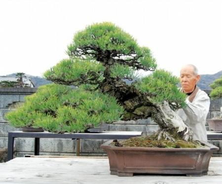 Kuromatsu, which Kandaka grows with much care in Kandaka Shojuen bonsai garden in Takamatsu's Kinashi town