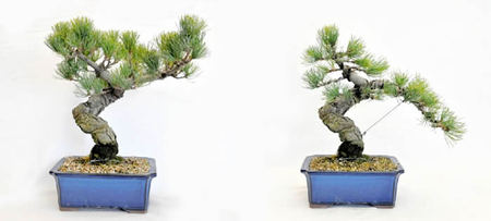 A young Goyomatsu tree (left) is changed by wiring..jpg