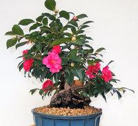 ハンティントン財団庭園のツバキ盆栽展示