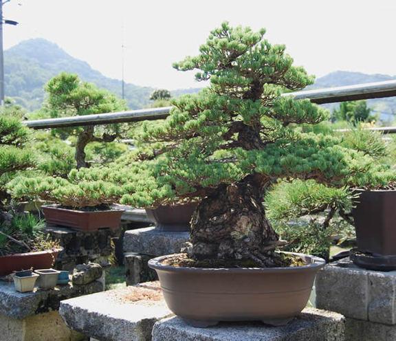 五葉松(銀八つ房・模様木)