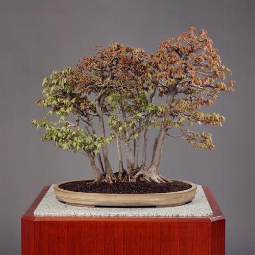 「カエデ寄せ植え」常滑中帯楕円鉢