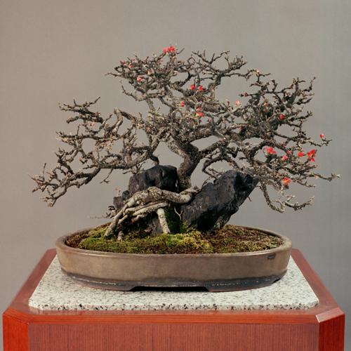 「長寿梅」白交趾楕円鉢