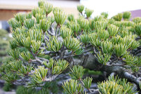 種類(上)松のいろいろ-高松は全国シェア8割