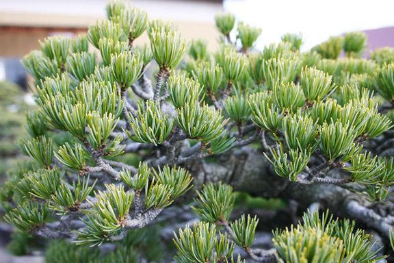 銀八ツ房五葉松の銀色っぽい葉