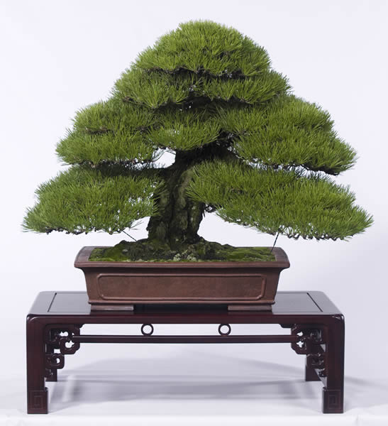 A more than 100-year-old kuromatsu (Japanese Black Pine) tree collected from a mountain.