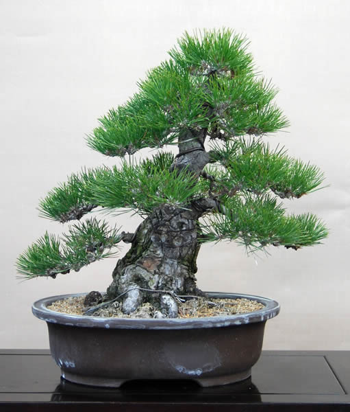A kuromatsu (Japanese Black Pine) tree about 15 years old grown from seeds.