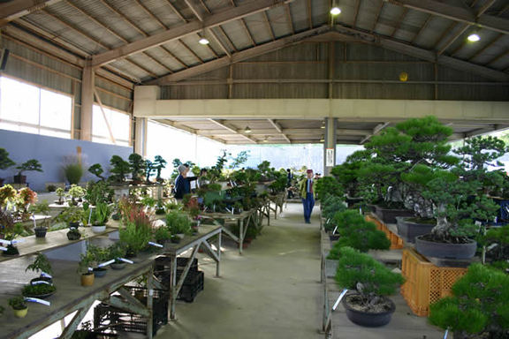 Bonsai trees are on shelves in order at the Kinashi Bonsai and Garden Plants Festival in Takamatsu's Kinashi area.
