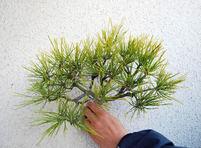 春の手入れ(上)葉すかし 光合成し病害虫も予防
