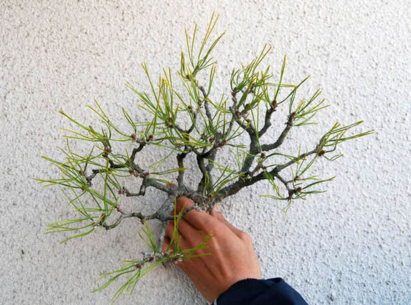 葉すかし後のすっきりした枝