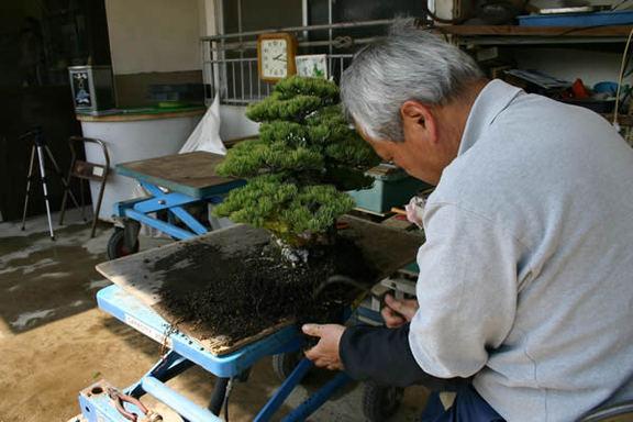 鉢から木を抜き、古い土と根を落としていく
