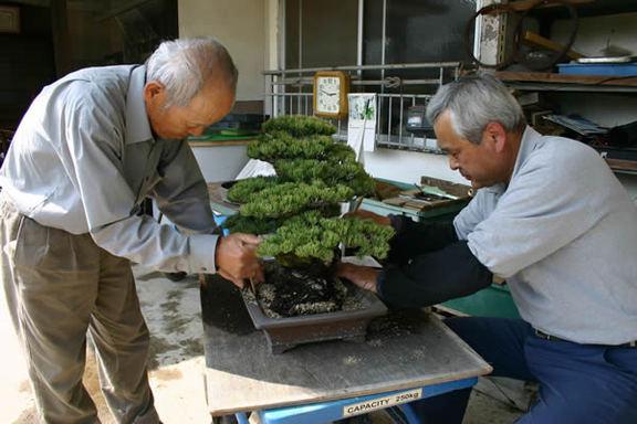 植え替え時は土と木を密着させるのがポイント=高松市鬼無町、神高松寿園