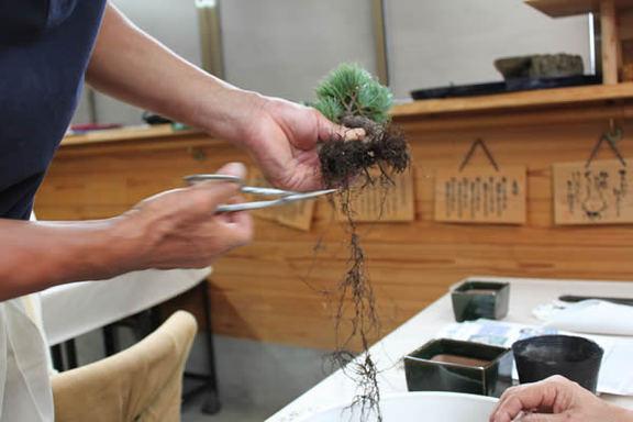 根は思い切りよく剪定する