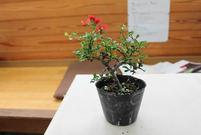 盆栽教室(下)女性に人気が高い雑木