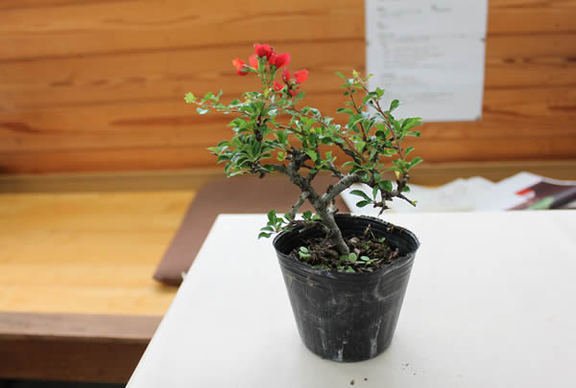 植え替え前のチョウジュバイ