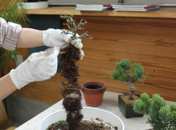 らせん状に成長した根をはしでほぐす