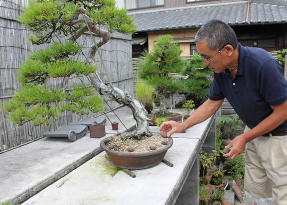 赤松の盆栽に置肥をする花澤さん
