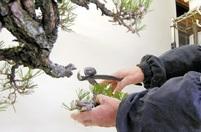 針金かけ(上)樹形づくりの決め手に
