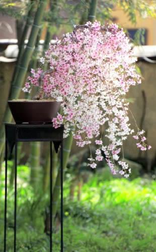 美しく咲いたしだれ桜