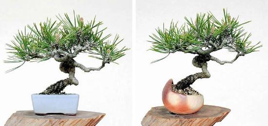 植え替え前の黒松(左)植え替え後の黒松(右)