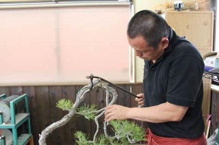 赤松の幹を曲げる中西さん