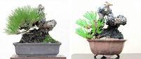 小品の改作(上)黒松 雰囲気変わり樹格も向上