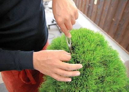 ハサミで丁寧に芽を切る