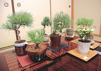 盆栽、水やり10日に1回 ひのうえ松楽園(高松)開発